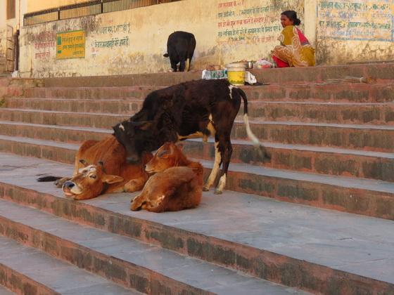 Cows cuddling