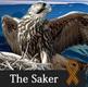 The Saker logo