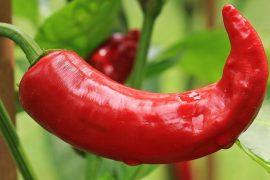 Chili large