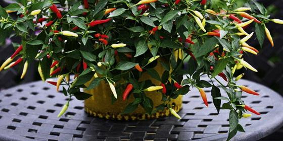 Chilli plant bottom