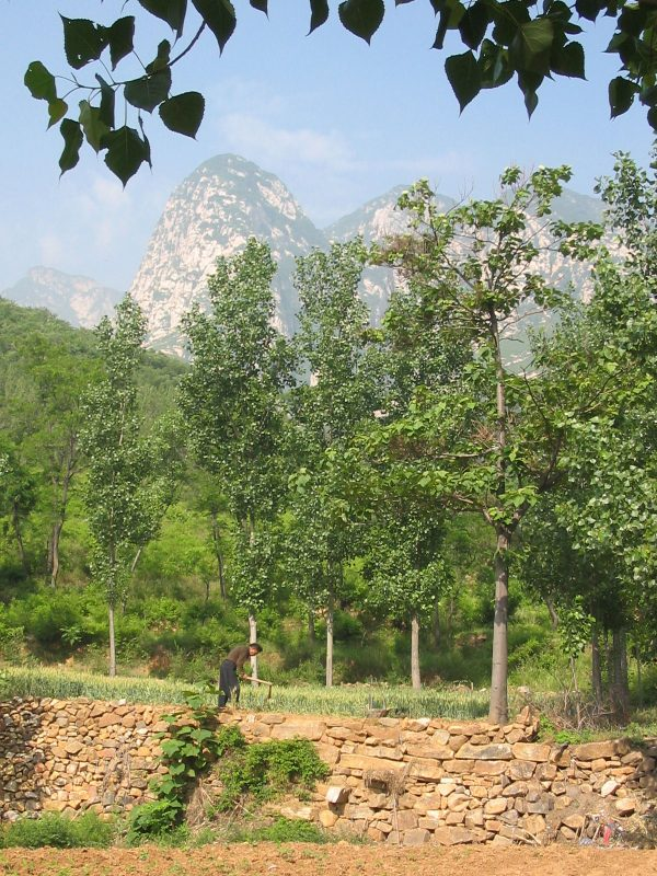 Farmer and walnut trees