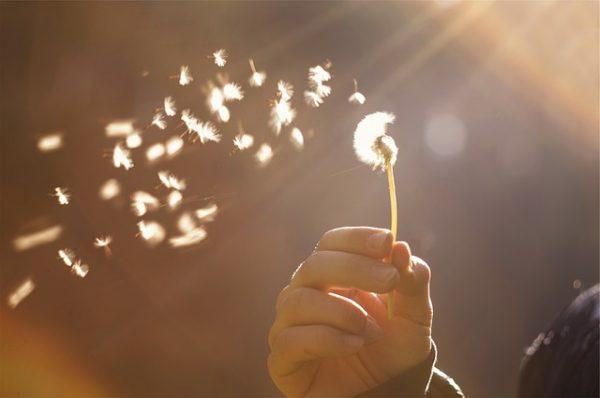 dandelion flower flying in the wind