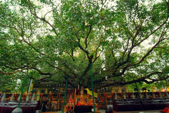 Bodhitree Bodhgaya