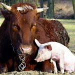 Cow and pig