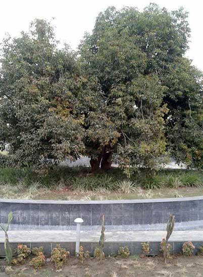 545 moulshri-tree-osho-enlightened