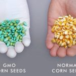 Corn Seeds Comparison