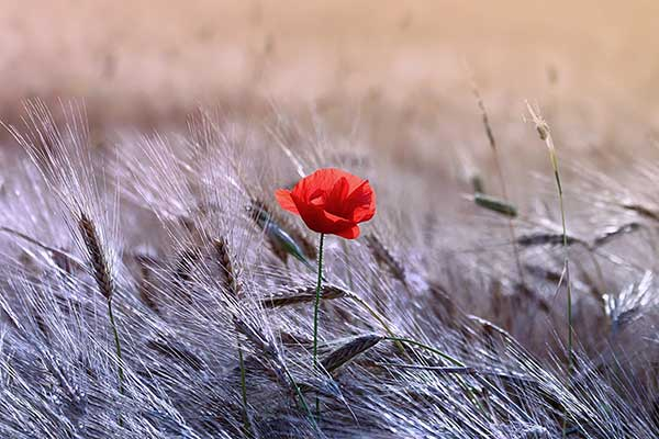 poppy in wheat field
