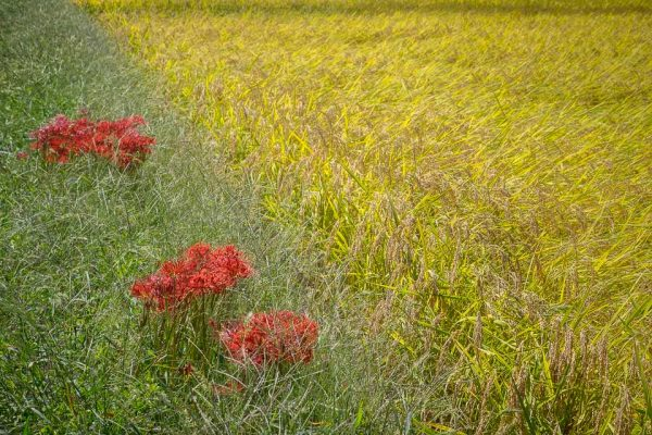 Rice Field with Spider Lilies