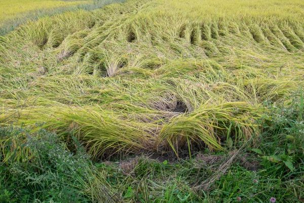 Rice Field after Heavy Weather