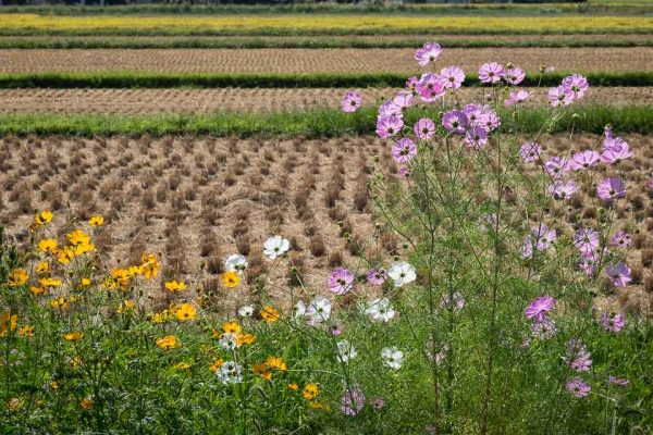 Rice Fields with Cosmos