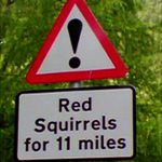 Red squirrels 2