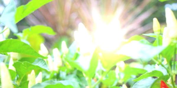 Chili sun 1