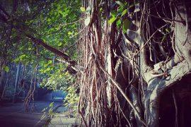 Banian trees