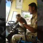 Langur driving bus