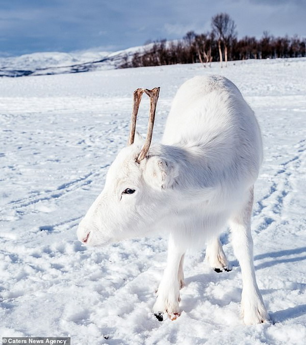 White reindeer calf