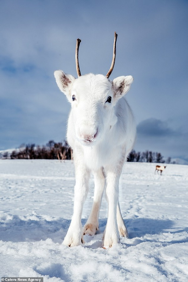 White reindeer with mother