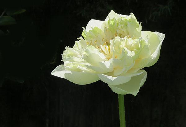 flower by Bhagawati
