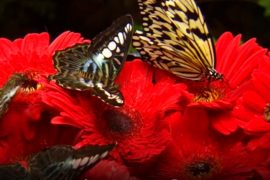Butterflies pollinating