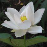Lotus Feat
