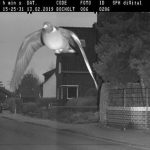 Speedy pigeon Feat