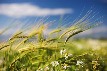 wind in the grass