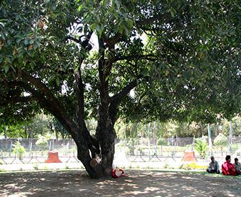 maulshree tree