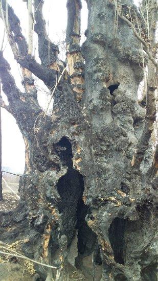 A poplar