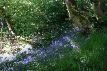 bluebells and alliums