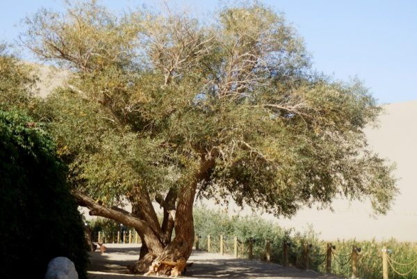 An unexpected tree which apparently thrives in arid