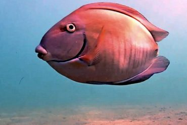 Tailless doctorfish