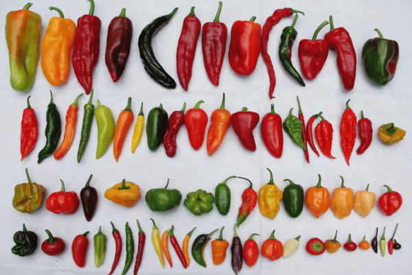 Chillies all types