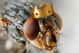 King of mosquitoes