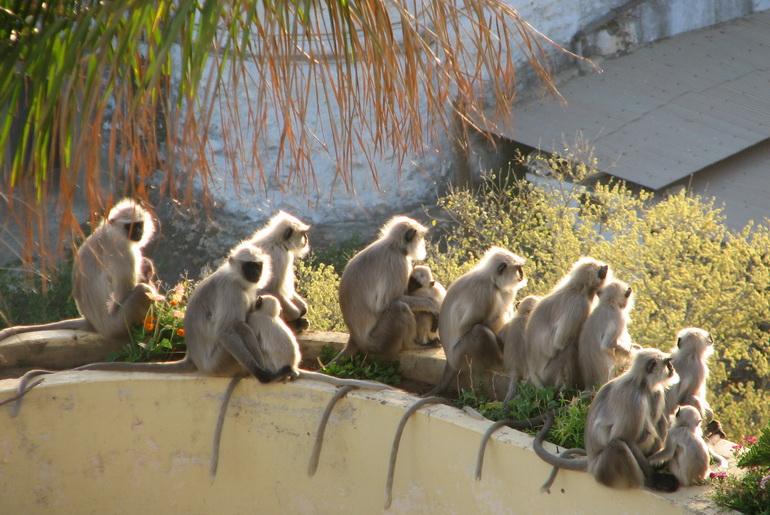 Monkeys, Mt. Abu, India