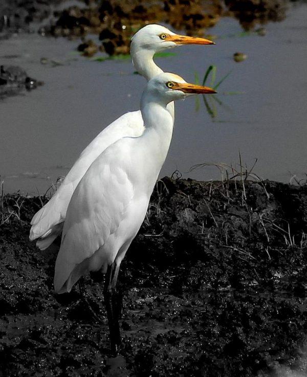 The Heron Duet