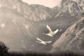 Geese flying by Darpan