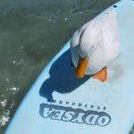 Surfing duck