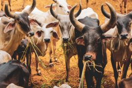 Indian cow herd