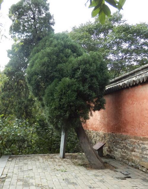 The cedar tree Huineng planted in honour of Damo