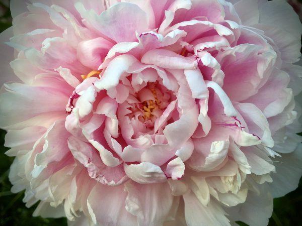 Ateet Flowers (10)